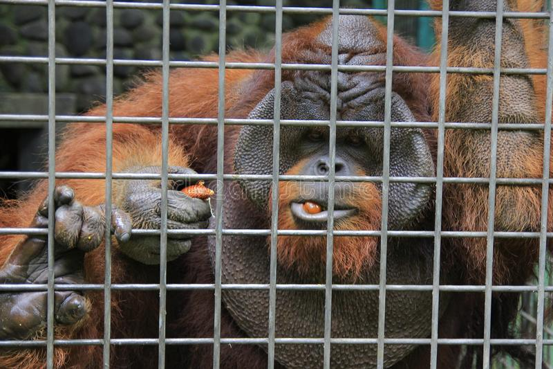 Conservation du Bornéo d'orang-outan photographie stock libre de droits