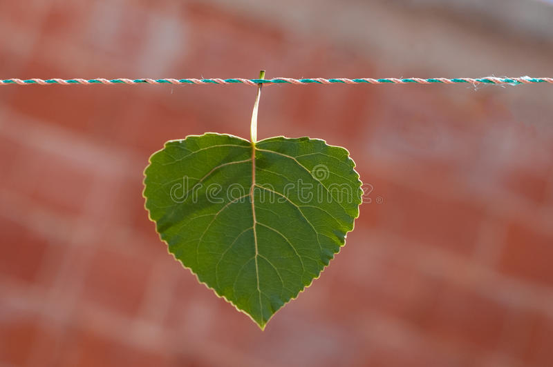Conservation of environment concept. A Green heart shaped leaf symbolising care and love for nature. A Green heart shaped leaf symbolising care and love for stock images