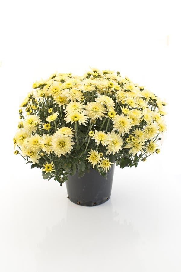 Conservato in vaso giallo del crisantemo isolato su bianco fotografia stock