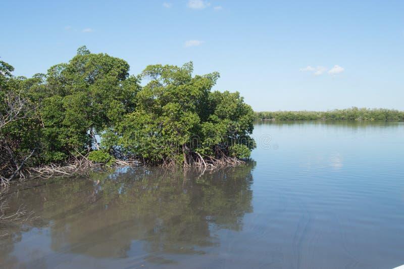 Conserve de palétuvier avec de l'eau des eaux polluées photo stock