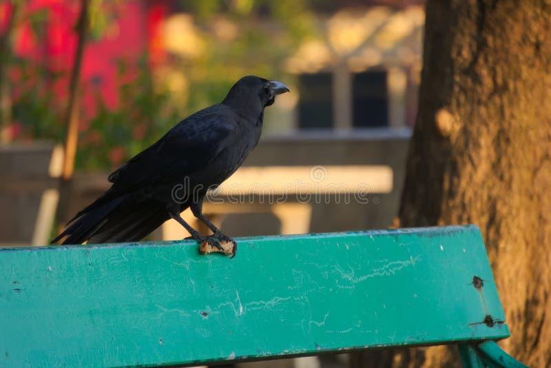 Considerando lejos el paisaje hermoso, un cuervo negro caníbal que perturba lleva el pollo frito en su garra, en un banco de parq fotografía de archivo