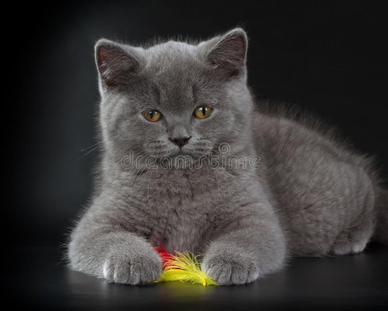 Consideravelmente gatinho azul de Ingleses Shorthair no fundo preto fotos de stock royalty free