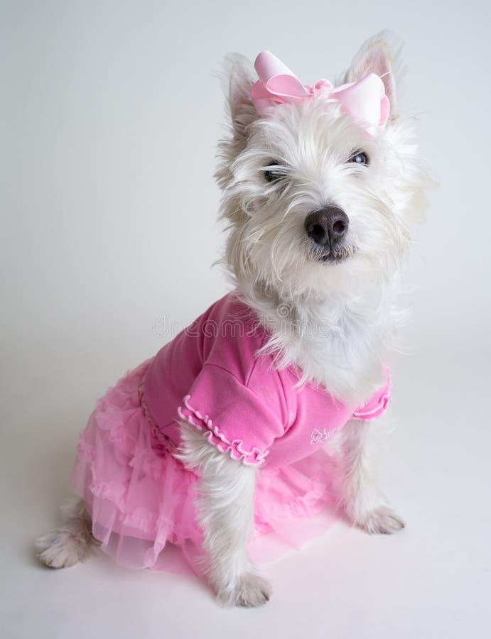 Consideravelmente na cor-de-rosa - cão bonito da bailarina no tutu cor-de-rosa fotografia de stock royalty free