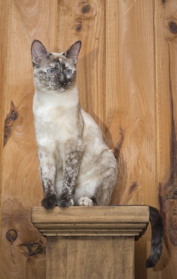 Consideravelmente pouco gato Siamese do ponto do tortie que senta-se em um cargo fotos de stock