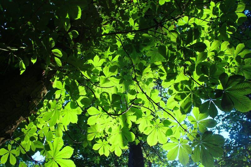 Consideri i rami scuri enormi sottili e le foglie verde intenso fotografie stock