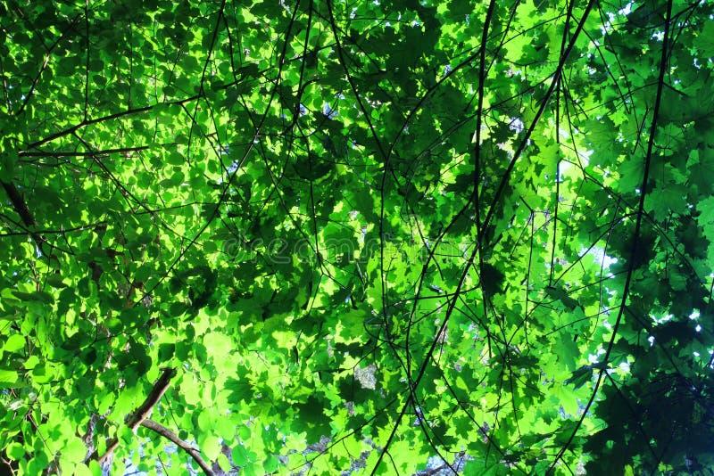 Consideri i rami scuri enormi sottili e le foglie verde intenso immagini stock libere da diritti