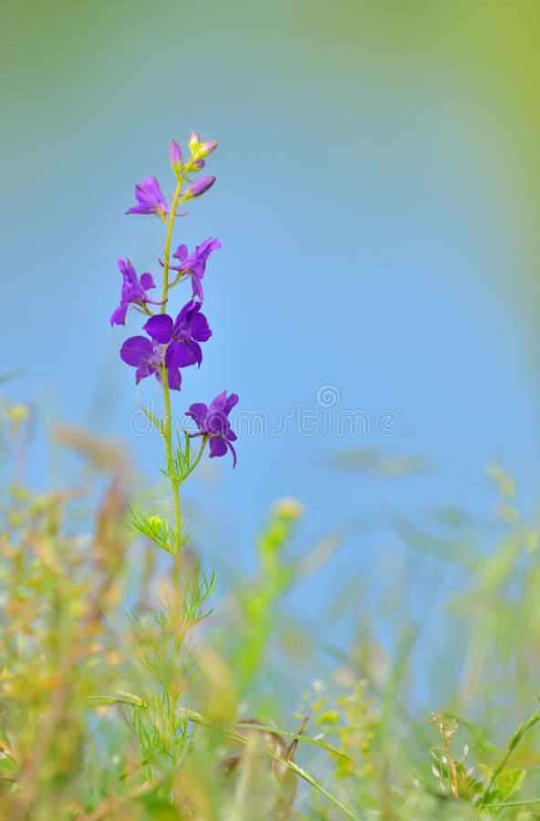 Consolida ajacis kwiat obraz royalty free