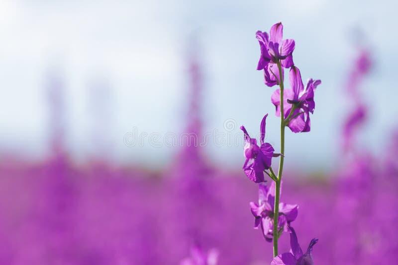 Consolida ajacis kwiatu szczegół fotografia stock