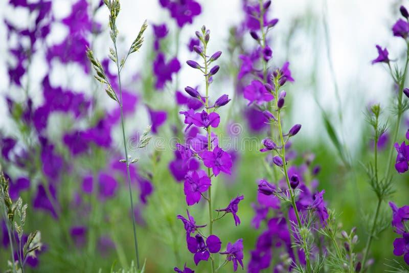 Consolida ajacis purpur kwiaty fotografia royalty free