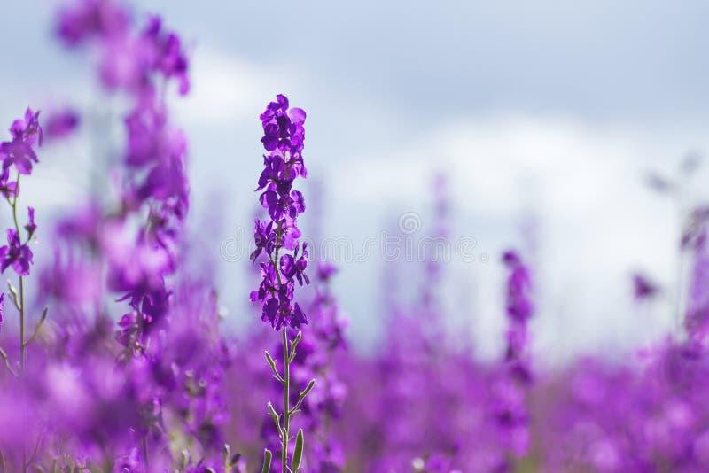 Consolida ajacis purpur kwiaty obraz royalty free