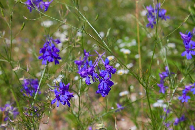 Consolida regalis、分叉的larkspur、火箭拉克斯珀和领域larkspur紫色小花在领域 免版税库存照片