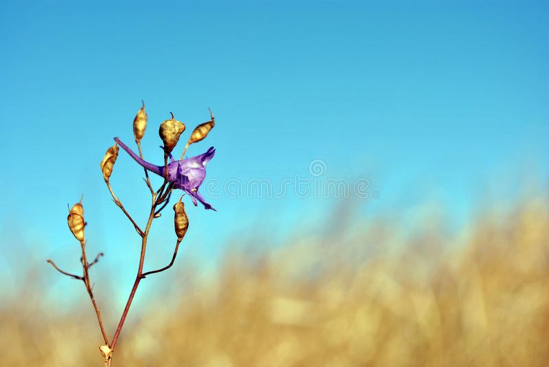 Consolida regalis forking larkspur, rocket-larkspur, field larkspur blooming flower and ripe seed pods on stem, autumn glade. With yellow weathered grass and royalty free stock image