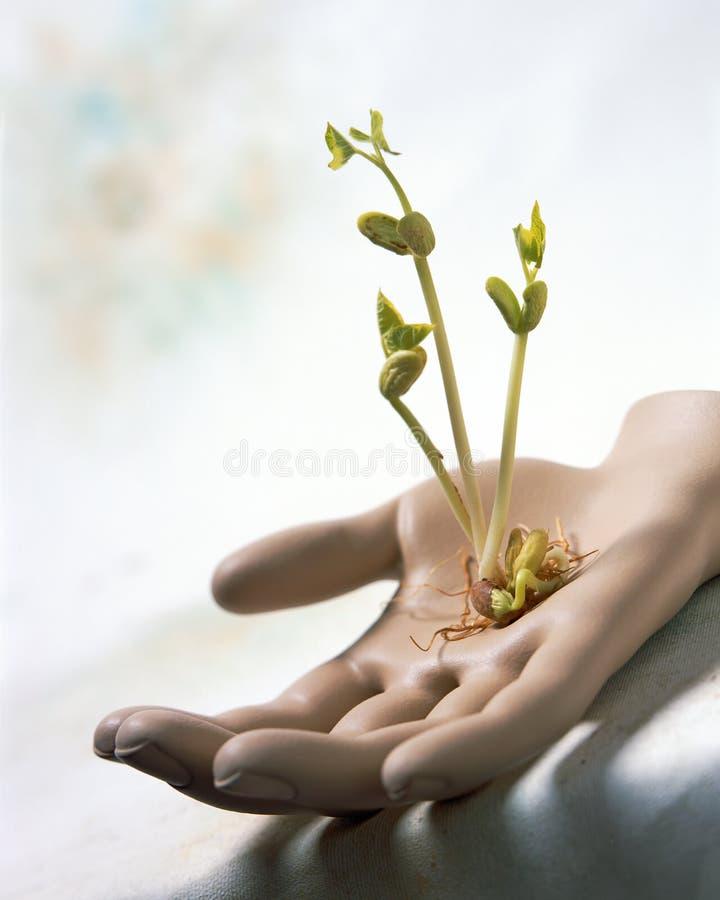 Consolidez l'image de jeunes jeunes plantes de haricot poussant et s'élevant à disposition photo libre de droits