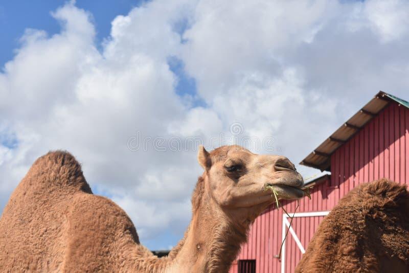 Consommation adorable de chameau de dromadaire image stock
