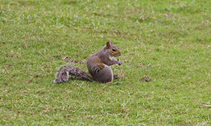 Consommation d'écureuil de Brown photos libres de droits
