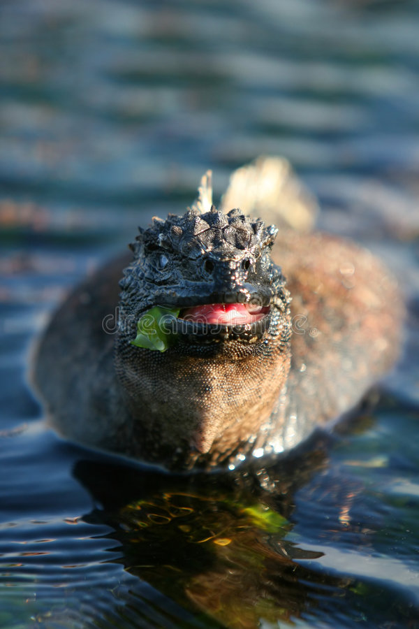 Consommation d'iguane marin photographie stock libre de droits