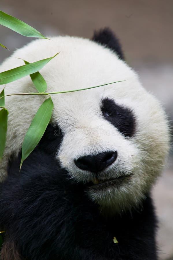 Consommation d'ours de panda photo libre de droits