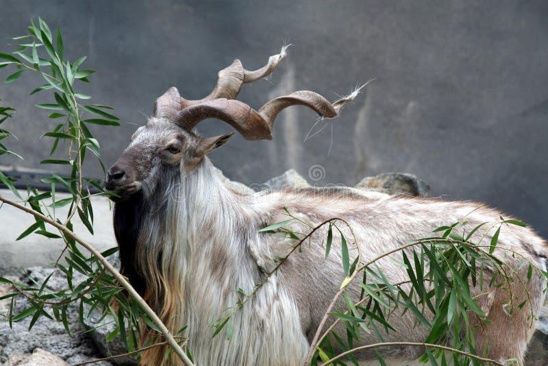 Consommation de chèvre de Markhor images stock