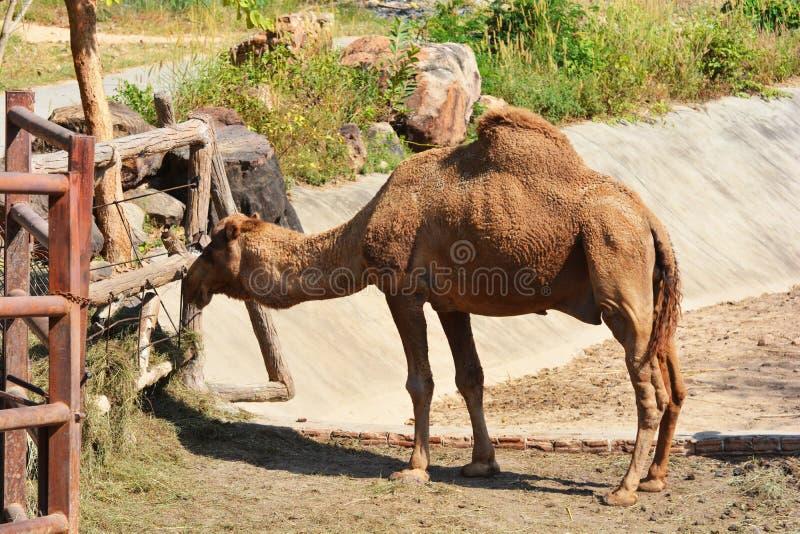 Consommation de chameau photo libre de droits