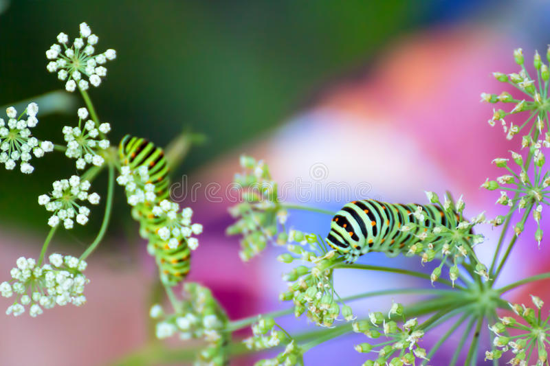 Consommation de chenille de machaon images stock