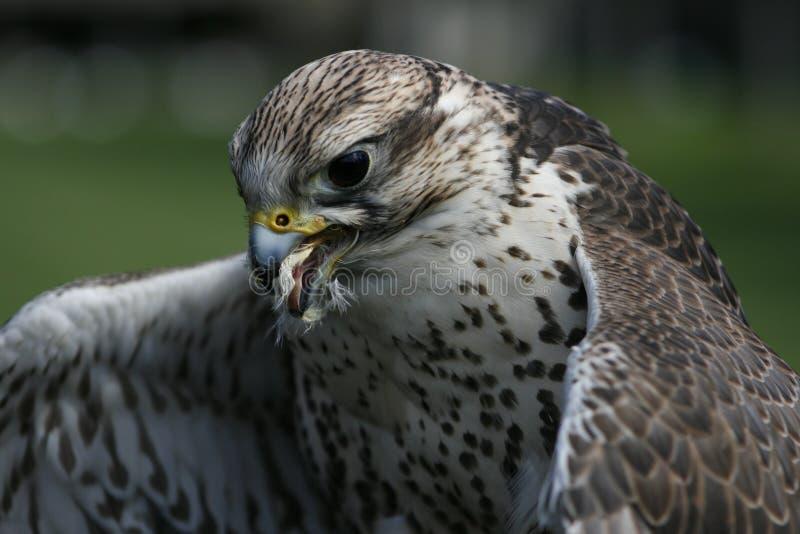 Consommation de faucon de Gyr photographie stock libre de droits