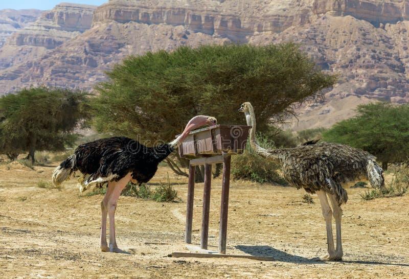 Consommation de gauche masculin et de la femelle du camelus africain de Struthio d'autruche dans la réserve naturelle images stock