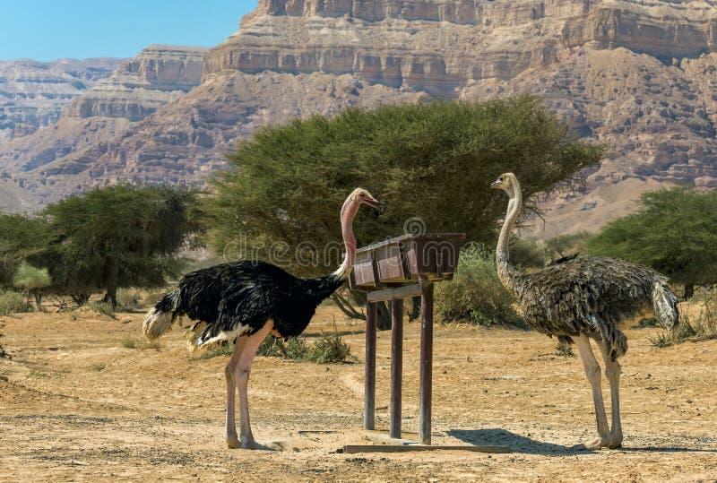 Consommation de gauche masculin et de la femelle du camelus africain de Struthio d'autruche dans la réserve naturelle image stock