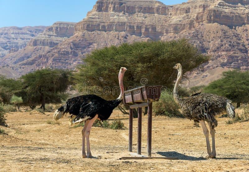Consommation de gauche masculin et de la femelle du camelus africain de Struthio d'autruche dans la réserve naturelle photographie stock libre de droits