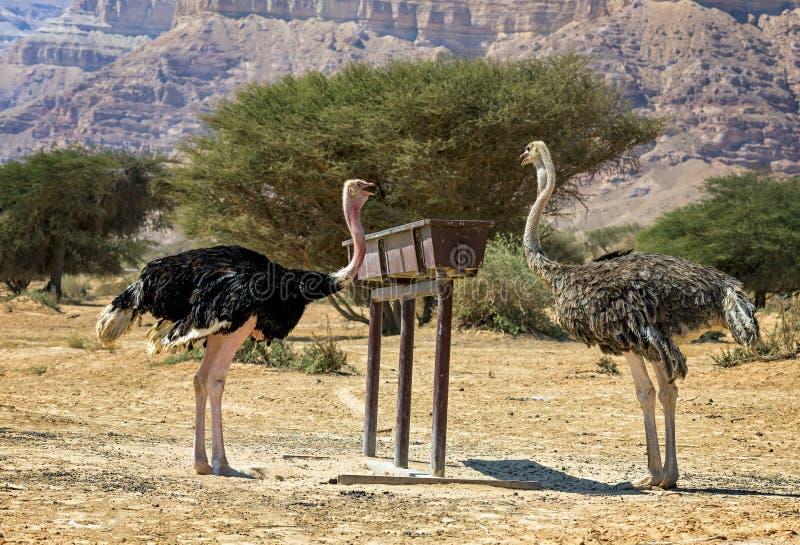 Consommation de gauche masculin et de la femelle du camelus africain de Struthio d'autruche dans la réserve naturelle photo stock
