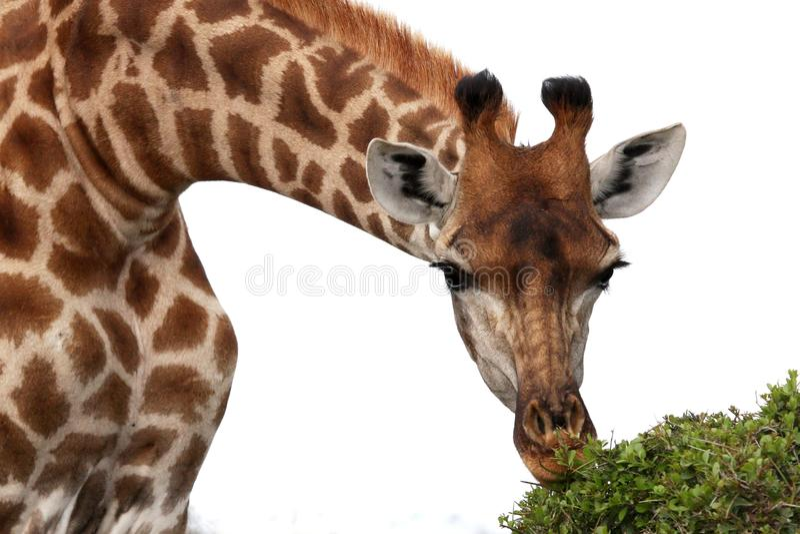 Consommation de giraffe image libre de droits