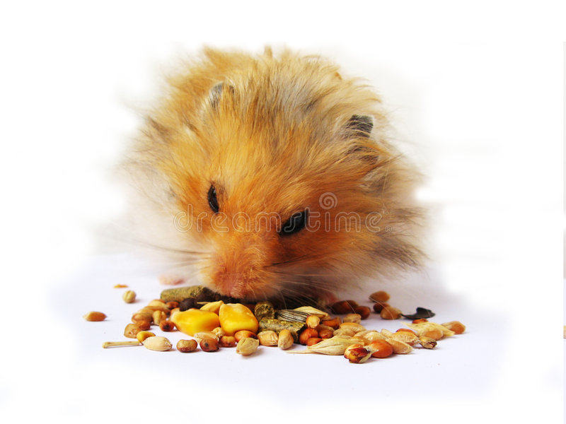 Consommation de hamster photos libres de droits