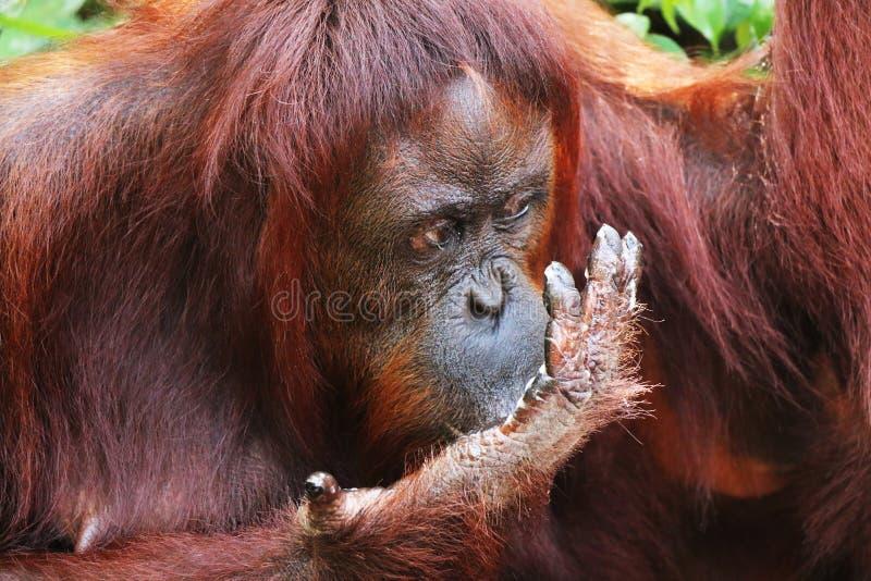 Consommation de l'orang-outan en plan rapproché de forêt du Bornéo de tête photo libre de droits