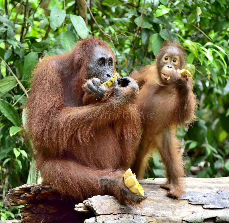 Consommation de mère et de petit animal d'orang-outan Dans un secteur d'habitat naturel Wurmbii de pygmaeus de Pongo d'orang-outa photos stock