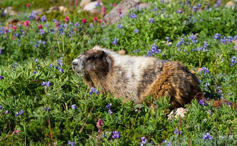 Consommation de marmotte blanchie photo libre de droits
