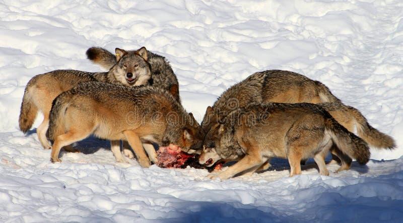 Consommation de meute de loups image stock