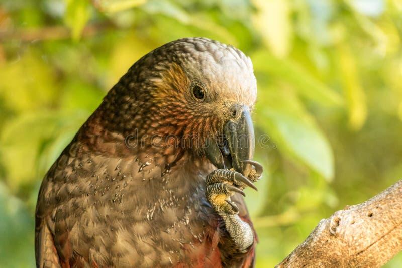 Consommation de perroquet du Nouvelle-Zélande Kaka Brown image libre de droits