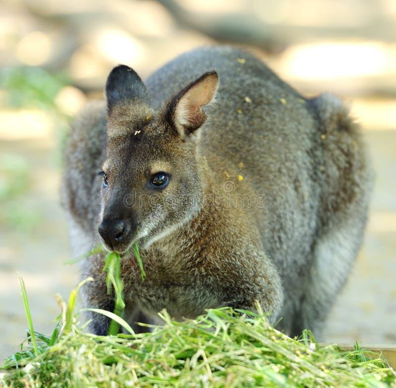 Consommation de rufogriseus de Macropus de wallaby wallaby ou de ` à col rouge s de Bennett image stock