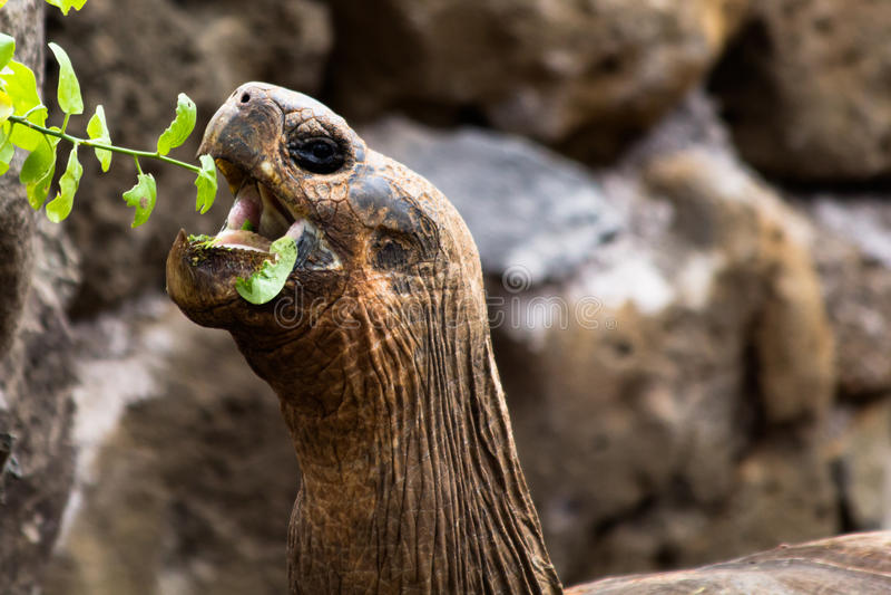 Consommation de tortue de Galapagos image stock