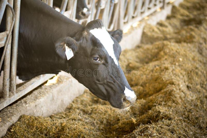 Consommation de vache laitière images libres de droits