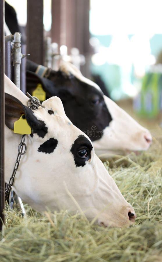 Consommation des vaches photos libres de droits