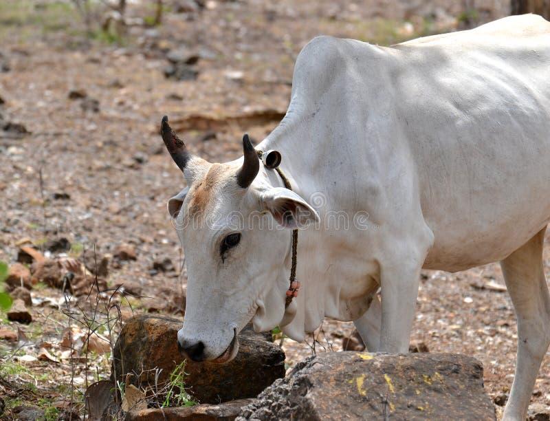 Consommation domestique blanche de vache photo libre de droits