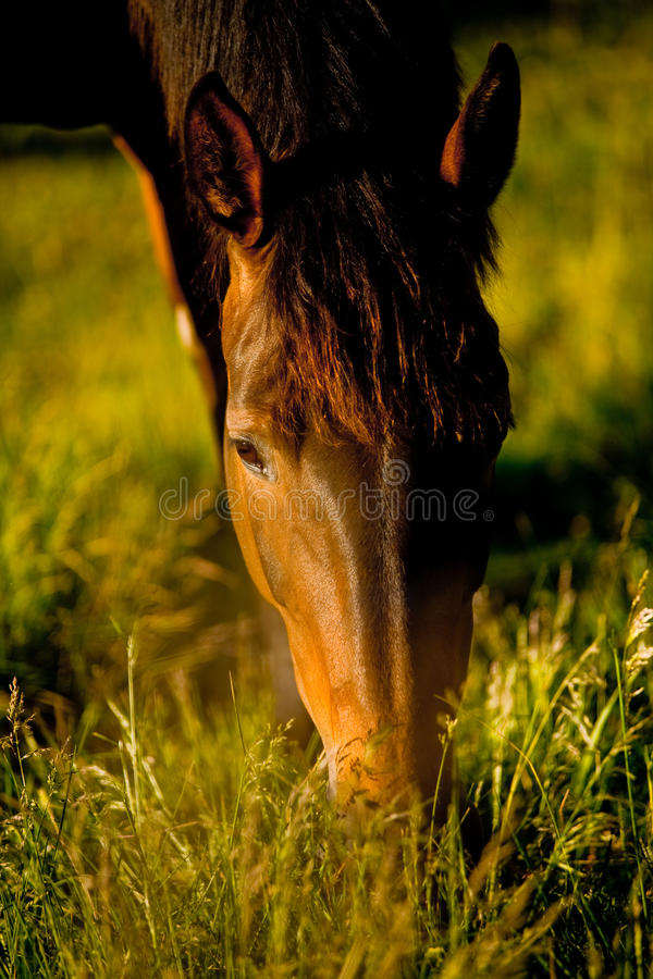 Consommation du cheval photo stock
