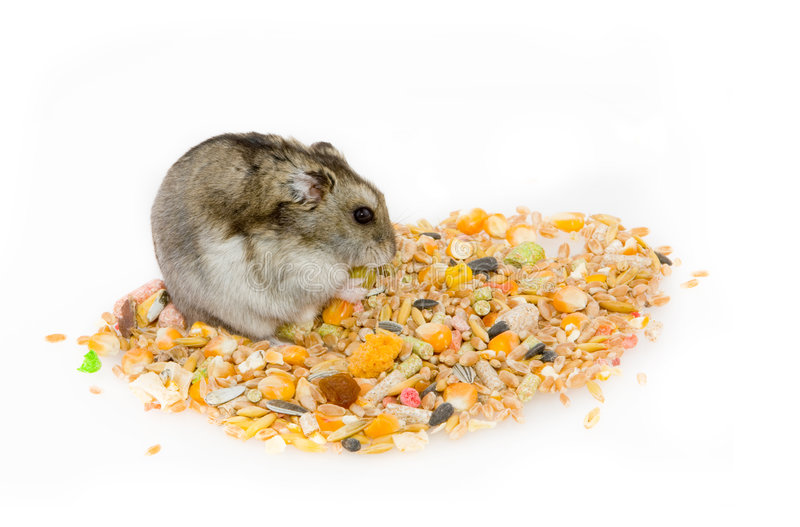 Consommation du hamster photo stock