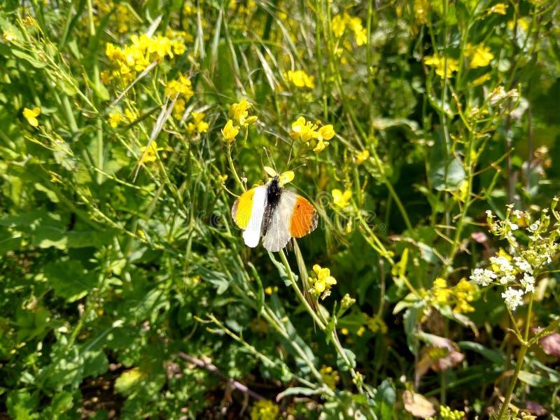 Consommation du papillon sur le pré photo stock