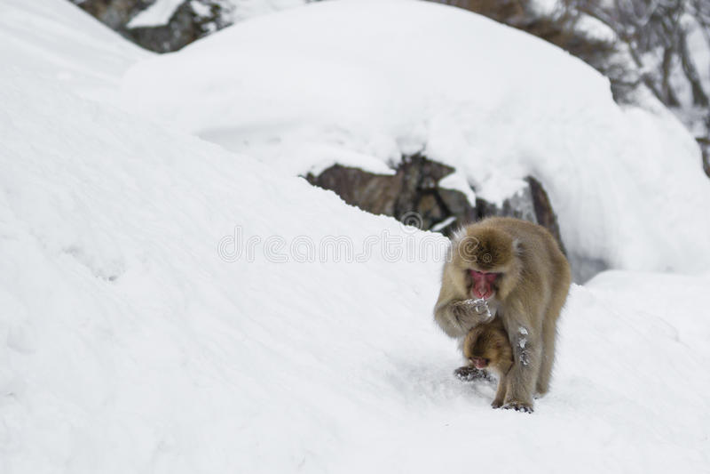 Consommation femelle de singe de neige avec le bébé dessous image stock