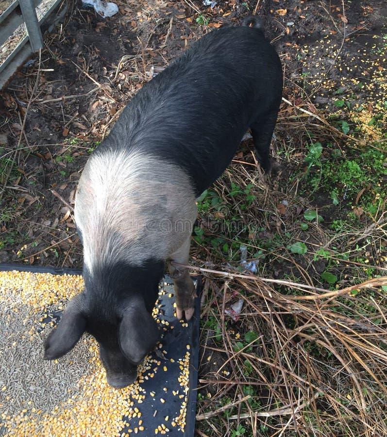Consommation femelle noire et blanche de porc image libre de droits