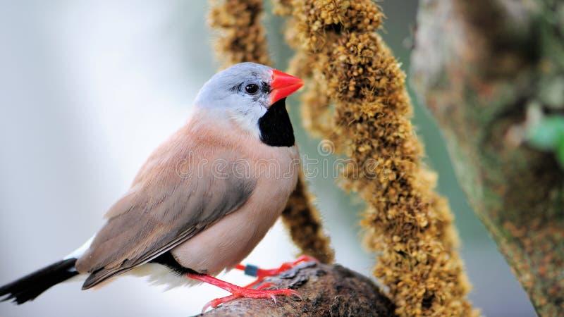 Consommation Long-tailed d'oiseau de pinson photographie stock