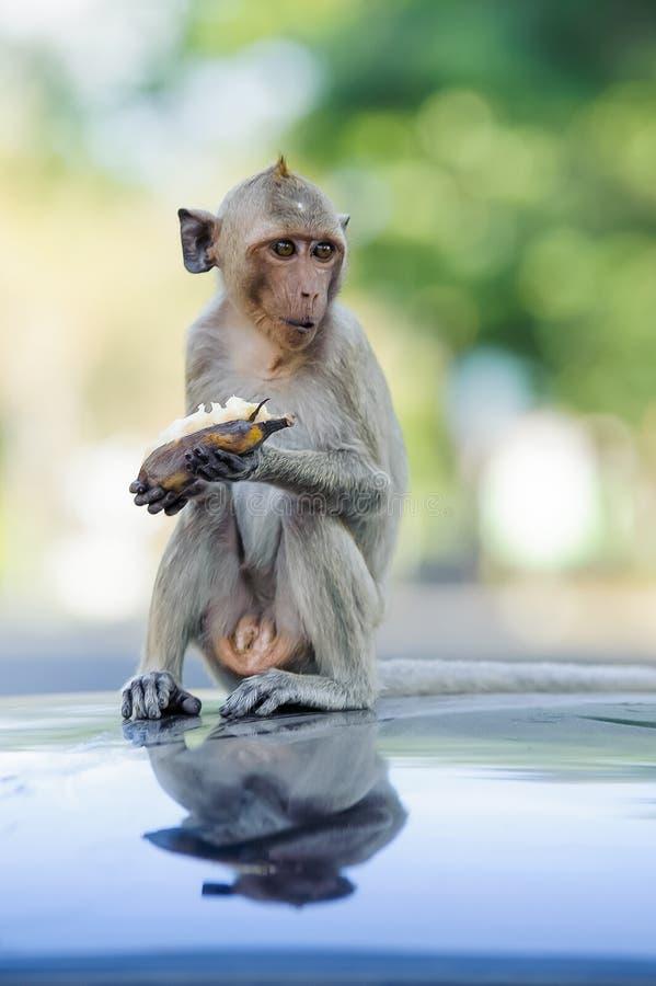 Consommation se reposante 2 de singe effronté photographie stock libre de droits