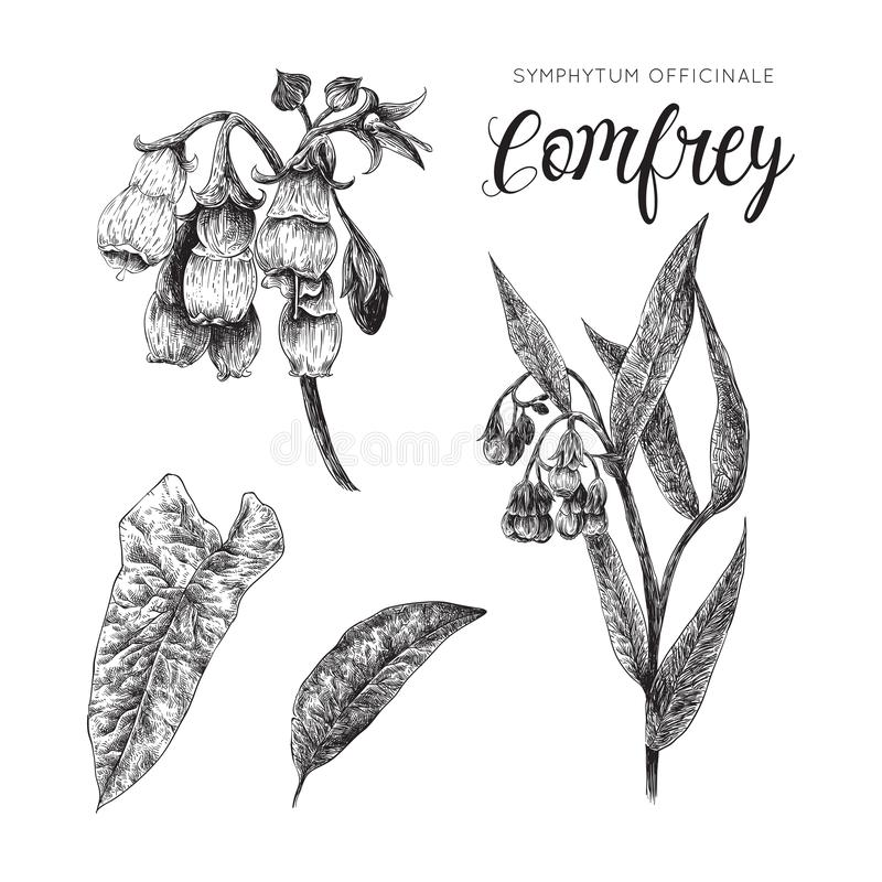 Consoude - collection noire et blanche d'officinale de symphytum illustration libre de droits
