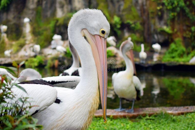 Conspicilatus del Pelecanus dell'uccello del pellicano dell'uccello acquatico immagini stock